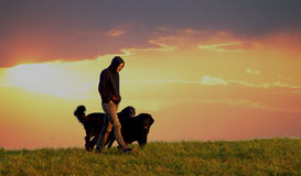 Man with dogs. Man with two dogs walking Stock Photos