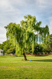 Man Doing Yoga Under A Leaning Weeping Willow Tree in Baker Park - Frederick, Maryland royalty free stock photography