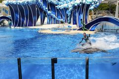Sea world Florida Dolphin surfing during show. Man dolphin surfing on two dolphins during the dolphin show at seaworld Orlando Florida Royalty Free Stock Image