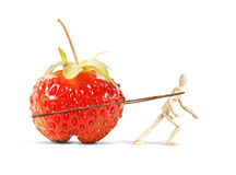 Man drags a huge ripe strawberry Stock Images