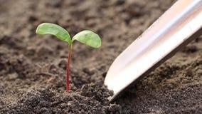 Man drar ut en ung växt från jorden arkivfilmer