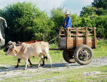 Man Driving Ox Cart In Cuba Royalty Free Stock Images