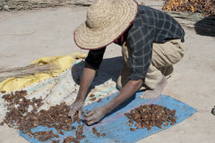 Man drying Dates, Morocco Stock Image