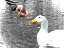 Man and duck friendship Stock Photos