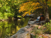 Man at Duck Pond in Autumn. Senior man sitting on a bench beside a duck pond with a white duck with colorful tree leaves reflected in the water at Lithia Park in Royalty Free Stock Photography