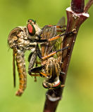 Man Eater. Roberfly that eat its own species Stock Image