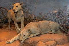 Man Eating Maneless Lions of Tsavo Stock Photo