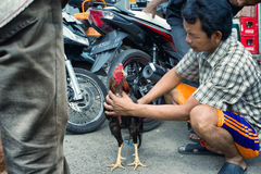 Man examines a rooster used for cockfight Stock Image