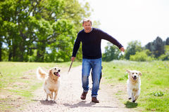 Man Exercising Dogs On Countryside Walk Stock Image