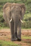 Man för afrikansk elefant som går i det löst Arkivbild