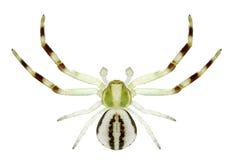 Man för spindelMisumena vatia Arkivfoto