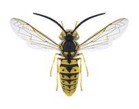 Man för Wasp Vespulagermanica royaltyfri bild