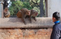 Man and family of monkeys Royalty Free Stock Image