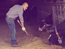 Man farm worker feeding cows with hay Stock Image