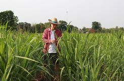 Man farmer checking the leaf in the sugarcane farm and wearing a straw hat. With red long-sleeved shirt stock photography