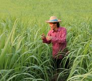 Man farmer checking the leaf in the sugarcane farm and wearing a straw hat. With red long-sleeved shirt stock photos