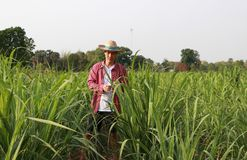 Man farmer checking the leaf in the sugarcane farm and wearing a straw hat. With red long-sleeved shirt royalty free stock photo