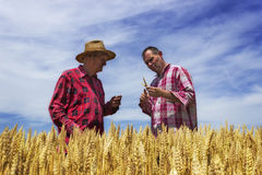 Man and farmer checks wheat. Wheat is ready for harvest.  Royalty Free Stock Images