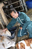 Man farmer feeding and petting cows Royalty Free Stock Photography