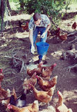 Man farmer strewing bird forage on country yard with chickens Royalty Free Stock Photography