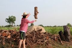 Man farmer throwing timber into the firewood stack at the sugarcane farm and wearing a straw hat stock photography