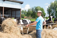 Man farmer working on farm with dairy cows Royalty Free Stock Photo
