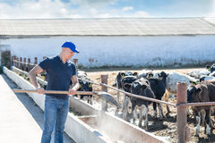 Man farmer working on farm with dairy cows Stock Photo