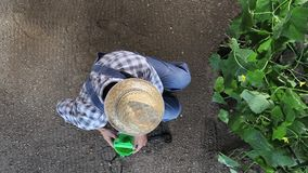 Man farmer working in vegetable garden, take care a plants of cucumber, top view and copy space. Template stock video