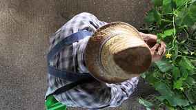 Man farmer working in vegetable garden, take care a plants of cucumber, top view and copy space. Template stock video footage