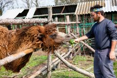 Man feeding a camel on the farm Royalty Free Stock Images