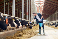 Man feeding cows with hay in cowshed on dairy farm. Agriculture industry, farming, people and animal husbandry concept - young man or farmer with bucket of hay royalty free stock image