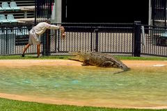 Man feeding crocodile during crocodile show at zoo in Australia. royalty free stock photos