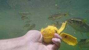 Man feeding fish with hands of ripe mango stock video footage
