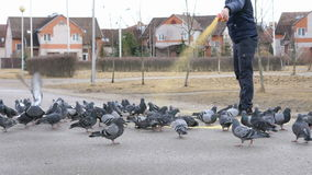 Man feeding flock of pigeons stock video footage