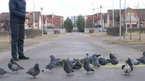 Man feeding flock of pigeons. In the street in spring stock video