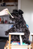 Man Feeding Funny Dog Schnauzer As A Baby Royalty Free Stock Image