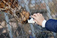 Man feeding a giraffe through fence Stock Photography