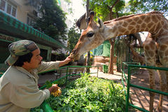 Man Feeding Giraffe at Zoo.  Stock Photo