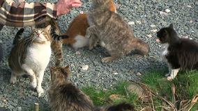 Man Feeding A Group Of Hungry Homeless Cats. This is a shot of a man feeding a group of six hungry cats of different coloring - striped, tabby, black and white stock video footage