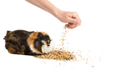 Man feeding the guinea pig Royalty Free Stock Photography