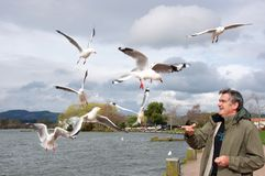 Man Feeding Gulls Stock Photo