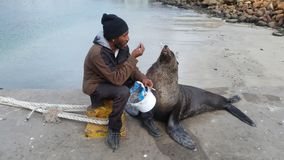 A man feeding his pet seal fresh fish royalty free stock photography