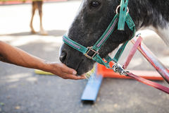 Man feeding a horse out of hand Royalty Free Stock Image