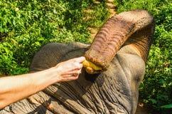 Man feeding hungry elephant with banana Royalty Free Stock Photo