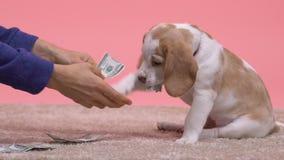 Man feeding little playful doggy with hundred dollar bills, joke, slow-motion. Stock footage stock video