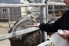 Man feeding ostrich Stock Photos