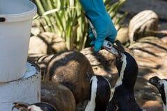 Man feeding penguins Stock Image