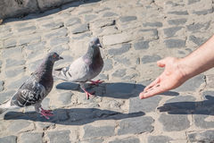 A man feeding pigeons with his hands. Royalty Free Stock Images