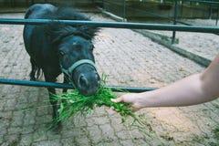 Man feeding pony Stock Image