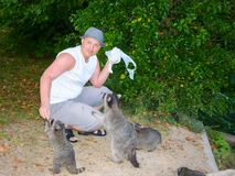 The man is feeding raccoons. Domestication of wild animals. Tamed wild animals stock photo
